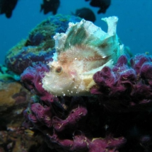 Leaf-scorpion fish