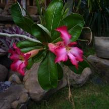 Japanese frangipani